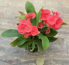 Euphorbia Vulcana