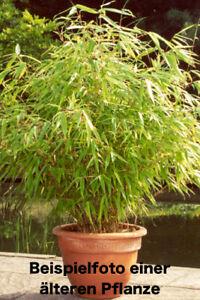 2x Bambus Pflanze Fargesia rufa 70-80cm Hecke Sichtschutz - Erholung im Garten!