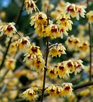 Chimonanthus praecox yellow flowering winter tree/shrub Fresh seeds fully hardy