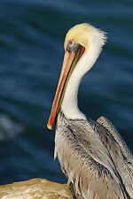 GORGEOUS BROWN PELICAN FINE ART GREETING CARD