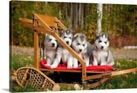 Pure-Bred Siberian Husky Puppies In Canvas Wall Art Print, Dog Home Decor
