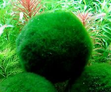 cladophora 4 boules 3/4 cm anti nitrates moosball  plante crevettes