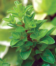 1000 Sweet Marjoram Seeds Culinary Herb + Gift - COMB S/H