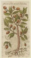 JACQUES DALECHAMPS CORDIA MYXA LASURA ALBERI TREES BOTANICA BOTANY MATTHIOLI