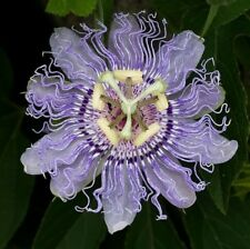 Passiflora incarnata - Purple Passion Flower - 5 Seeds