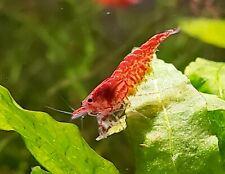 Red Cherry Shrimp Rcs Neocaridina 20+ Dwarf Shrimp, Discounted Culls