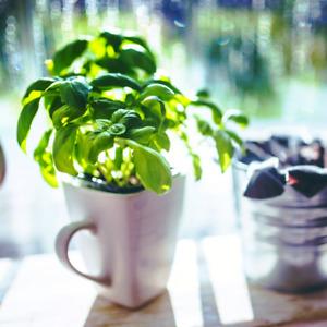 Ocimum basilicum (Sweet Basil Herb) 25-750 ORGANIC Seeds •Indoor House Plant UK