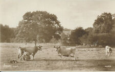 PC76126 Jersey cows. Photochrom. Exclusive. No 4629. RP