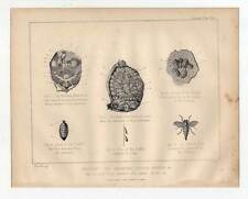 Pferd-Bremse-Gadfly-Anatomie-Tiermedizin-Veterinär-Medizin Lithographie 1880