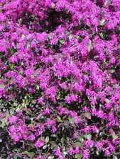 5 PZ Pianta di Loropetalum Cespuglio arredo giardino vaso 7