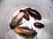 50 Eublaberus roaches,Feeder,Bug,Geckos,Bearded Dragons,dubia roach alturnative