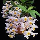 Dendrobium FARMERI seedling orchid plant in 80mm pot