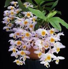 Dendrobium FARMERI seedling orchid plant in 80mm pot