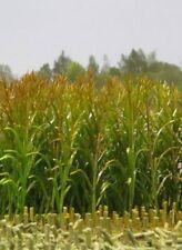 1/35 échelle maïs plante Pack de 50 plantes en Plastique-Diorama Accessoires
