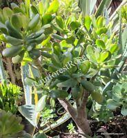 ROOTED WHOLE PLANT Jade medium plant plant succulent cactus drought Crassula