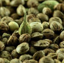 5 X Gelato Feminised Souvenir Sensi Seeds