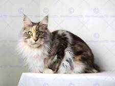 MAINE COON CAT KITTEN PET PHOTO ART PRINT POSTER PICTURE BMP2023A