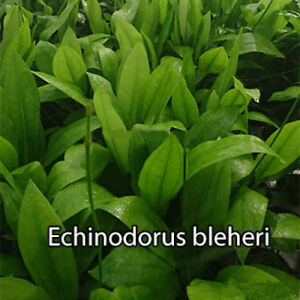 1 Bund Echinodorus bleheri - Schmalblättrige Amazonas, robuste Wasserpflanze,