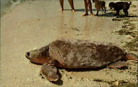 Giant Sea Turtle back to sea after laying eggs Sanibel Island Beach Florida