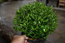 2 Ilex Crenata Glory Gem Ball 25/30cm Diameter (Box Wood Replacement) 5L Pot