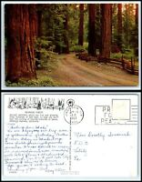 CALIFORNIA Postcard - Redwood Forest O19