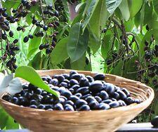 Live Black Jamun Grafted Jam Jamoon Jambolan Fruit Plant 2 Plants In Pot