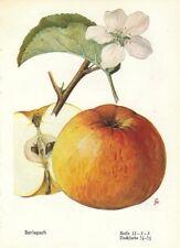 Stampa antica FRUTTA MELE Berlepsch 1930 Old Antique print apples