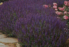 "6 großeZiersalbei,Salvia nemorosa ""Blaukönigin"""