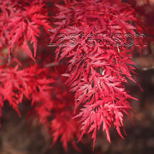 Red Dragon Weeping Laceleaf Japanese Maple Tree Seeds Acer palmatum 50 seeds!