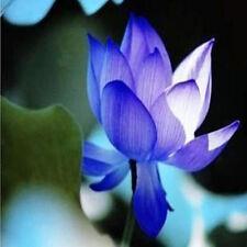 Rare Chinese BLUE Bowl Lotus Flower SeedS water Aquatic Plants Nelumbo