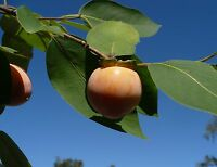 American Persimmon   Diospyros virginiana   Organic   10 Seeds   (Free Shipping)