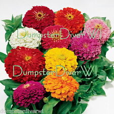 California Giant Mix ZINNIA Profussion of  HUGE flowers 50+ great cut flowers