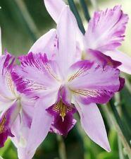 Do- Laelia Autoceps,autumnalis alba x anceps disciplinata, Cattleya Orchid