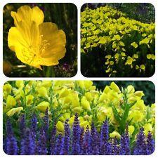 Nachtkerze gelbe Blüten tolle Duftpflanze Bienenweide Räucherpflanze