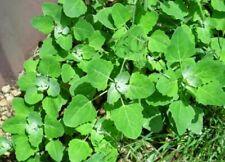 CHENOPODIUM album Lambs quarters 100 seeds *Wild vegetable* ORGANIC + GIFT SEEDS