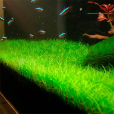 Low Cow Grass of Seeds Live Aquatic Plant Stem Water Aquarium Grass