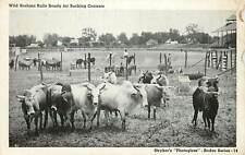 Wild Brahma Bulls Ready for Bucking Contests 1940's Postcard