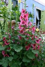 Hollyhock Perennial Flower  Seeds (100 seeds) organic 2020