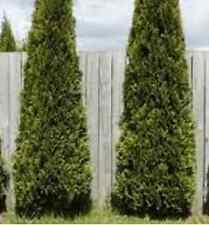 Blue Cone Arborvitae, upright evergreen tree, TEN plants, FREE shipping