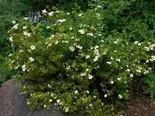 "Potentilla ""Abbotswood"" 20 White Flowering Shrubs, Live Plants! Free Shipping!"