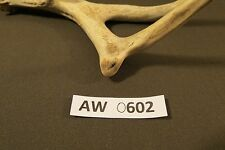 authentic whitetail antler for decor, handles, crafts, mount, knife, ect. AW0602
