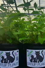 CATNIP PLANT - Tried & Tested & FREE FURRY MOUSE TOY
