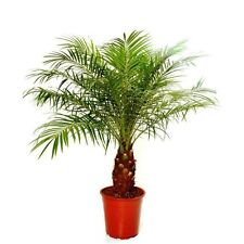 PHOENIX ROEBELENII - Miniature Date Palm Tree - 10 Fresh Seeds