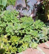 2 cuttings AEONIUM HAWORTHII PINWHEEL Plant Red Pink FLOWER SUCCULENT Cactus