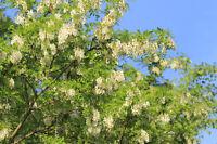 ** Scheinakazie die weiße Blütenpracht ist ein Traum - Zierbaum Samen Exot.