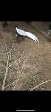 12 Silver Pheasant Eggs
