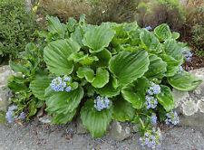Chatham Island Forget-Me-Nots (Myosotidium hortensia) - Seeds