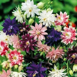 Seeds Columbine Granny's Bonnet Aquilegia Doulbe Mix Flower Outdoor Perennial