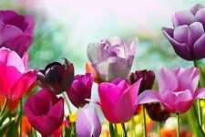 MAGENTA AND VIOLET TULIPS photo poster DELICATE FLOWERS beautiful 24X36 NEW