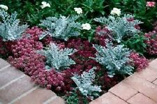 "Senecio ""Silver Dust"" (Dusty Miller) x 25 seeds.Drought Tolerant Gifts in store"